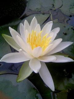 白い蓮の花-2.JPG