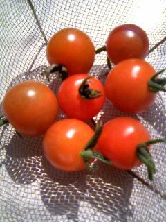 初トマト.JPG