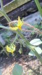 トマトの花.jpg