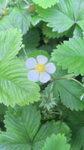 野イチゴの花.jpg
