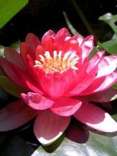 蓮の花.JPG