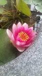 110616_094337蓮の花.jpg